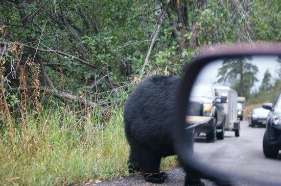 Moose Wilson Road: oso negro cruzando delante del coche amenos de 1 mt.