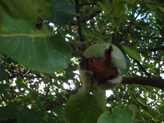 Hotel Beausite: Walnut Tree at Beausite