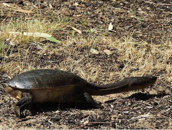 Lake Monger: Long Neck Tortoise