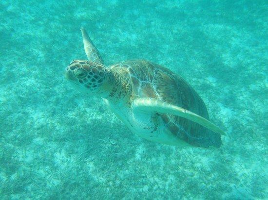 Centro Ecologico Akumal: Turtles at Akumal