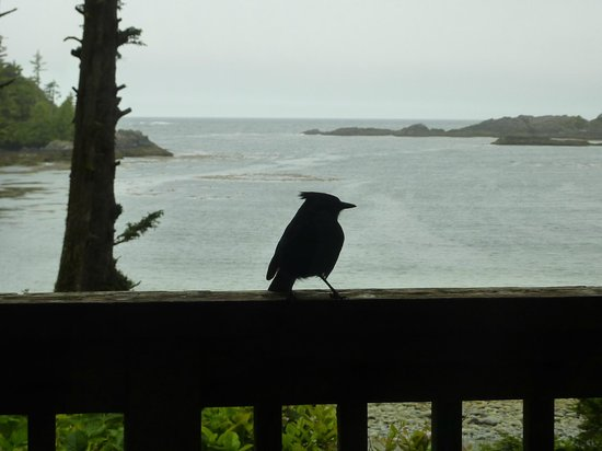 The Cabins at Terrace Beach: Stellar's Jay with view from our cabin