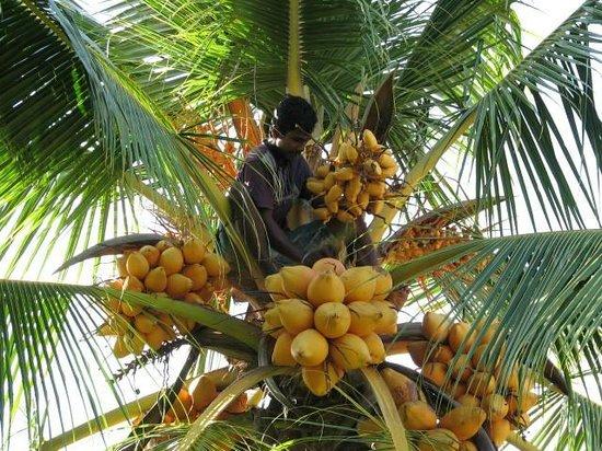 Shangri-Lanka Villa: Coconut harvesting