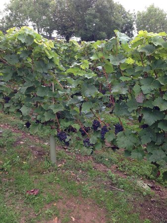 Camel Valley Vineyard: The vines