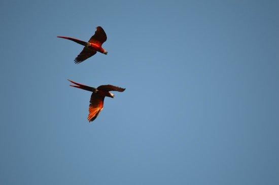 Lapa Rios Ecolodge Osa Peninsula: Lapas flying over us during morning coffee