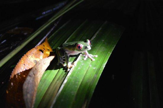 Lapa Rios Ecolodge Osa Peninsula: red eye tree frog we saw during the night hike