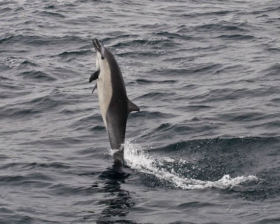 Dana Point, CA: COMMON DOLPHIN