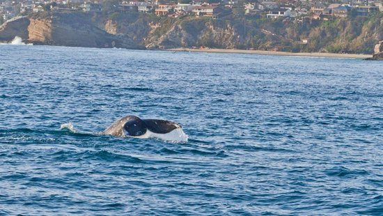 Dana Point, CA: GRAY WHALE