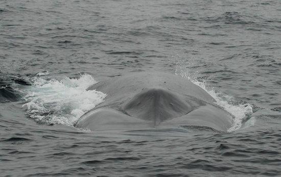Dana Point, Kaliforniya: Blue Whale