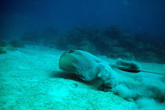 Scubatyme Dive Charters: Southern Atlantic Stingray on the bottom near the Sea Emperor