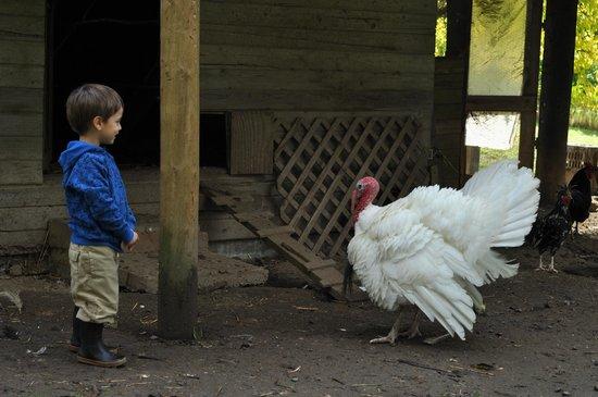 Leaping Lamb Farm: The old turkey