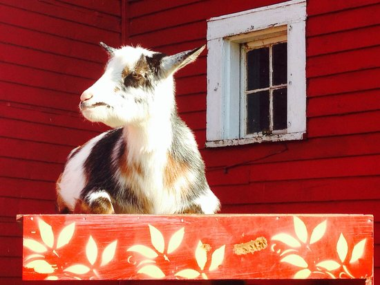 Farm by the River Bed and Breakfast with Stables : Resident goats