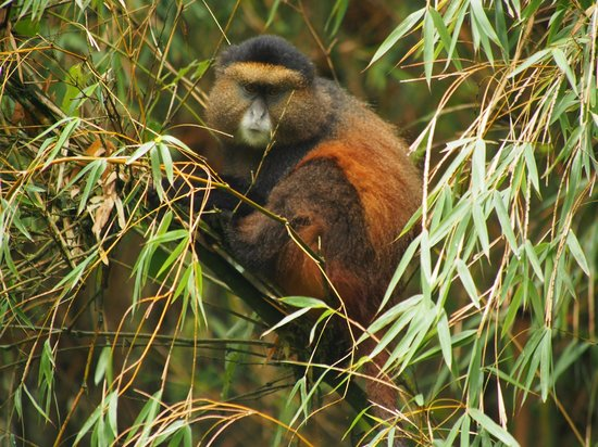 Mgahinga Gorilla National Park: golden monkey