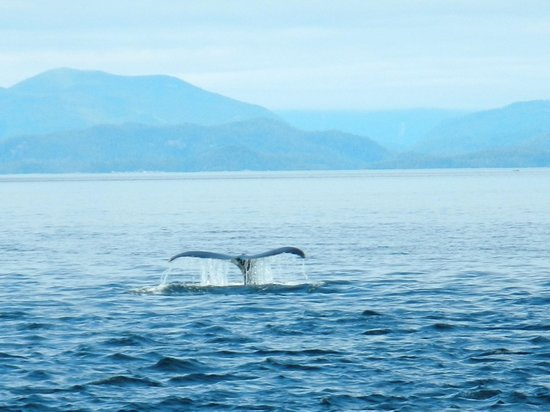 Stubbs Island Whale Watching: We saw several humpback whales