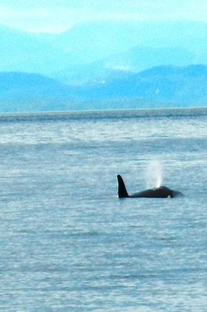 Stubbs Island Whale Watching: Orcas everywhere