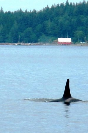 Stubbs Island Whale Watching: We saw a lot of Orcas
