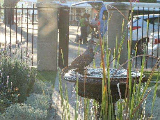 Queens Hotel: dove at birdbath