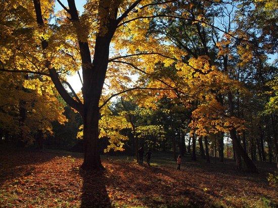 Morton Arboretum: Silhouette of sugar maple against the setting sun