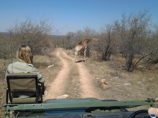 Toro Yaka Bush Lodge: On entering the gates of the Reserve we stumbled across these giraffes