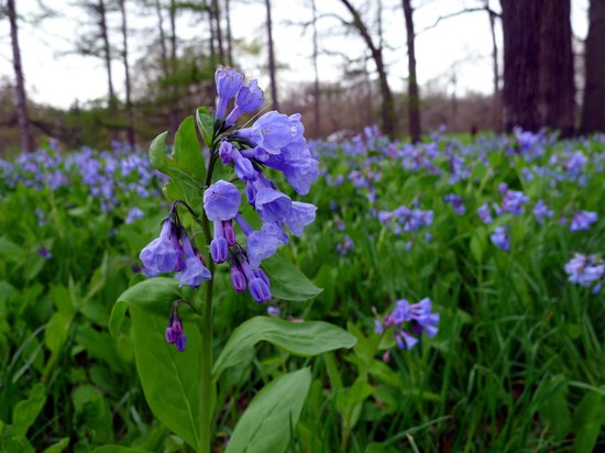 Morton Arboretum: Field of Virginia Bluebells on the West Side