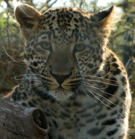 The Farm Inn: leopard cub resident