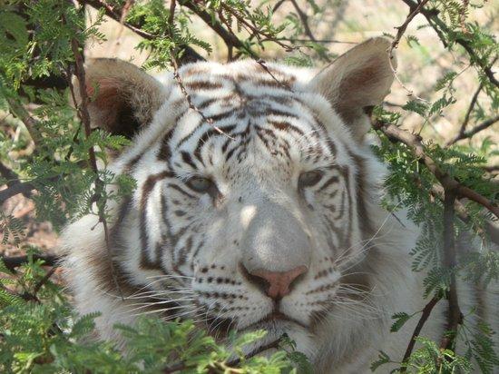 The Farm Inn: white tiger resident