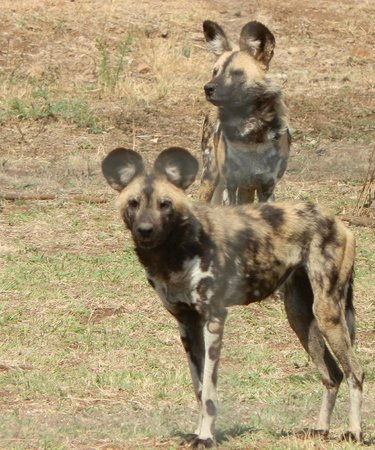 The Farm Inn: African Wild Dog residents