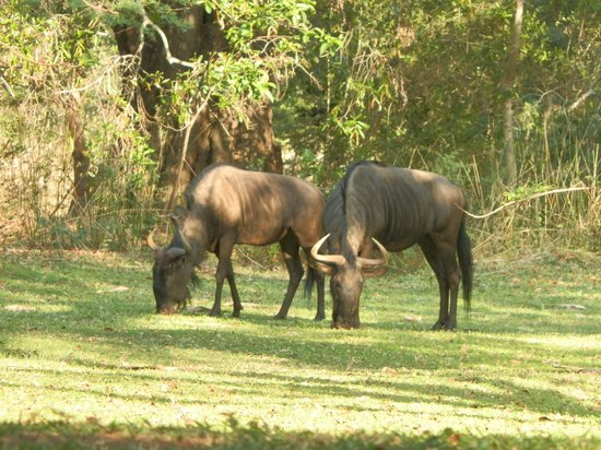 Blyde River Canyon Lodge: wildebeest on lawn