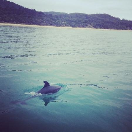 Saffire Freycinet: dolphins whilst on the boat tour