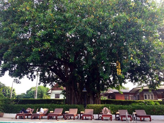 Rimping Village: Lovely tree overlooking pool