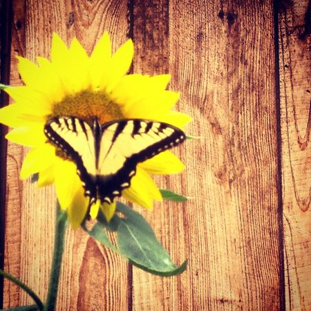 Snug Hollow Farm Bed & Breakfast : So many butterflies!