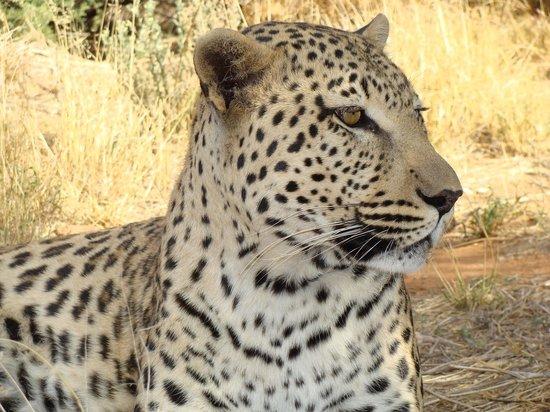 Okambara Elephant Lodge: Leopard - Lulu
