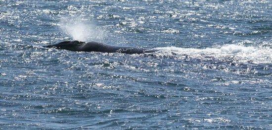 Hermanus Guesthouse: Whale in Hermanus Bay.