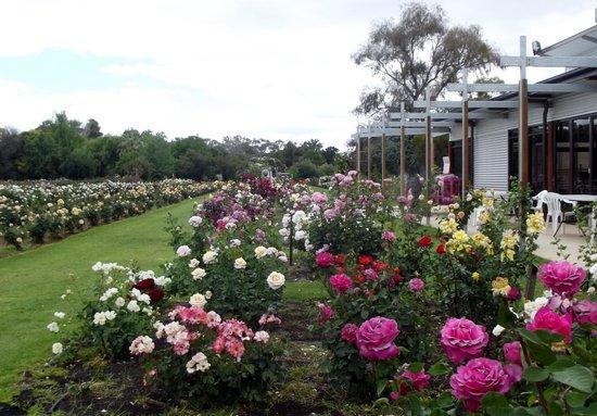 Ruston's Roses: All lovely!