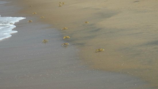 Sealine Beach Resort: crabs
