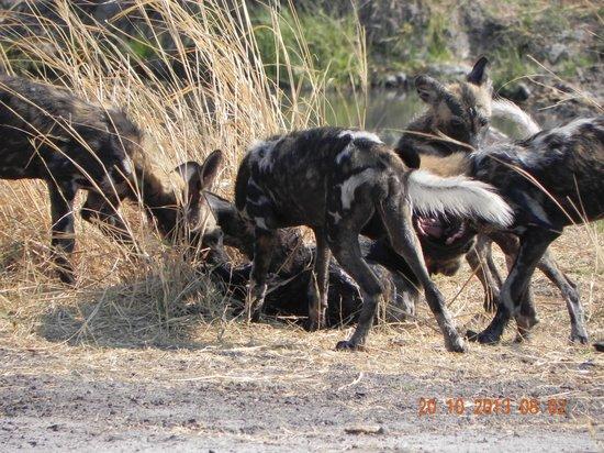 Luangwa Safari House: Wild dog pups at play