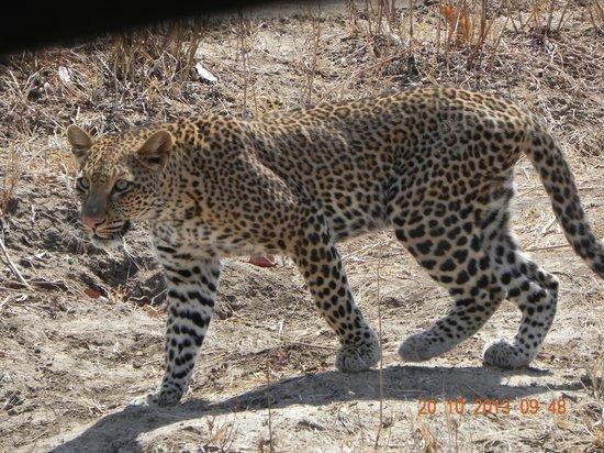 Luangwa Safari House: Prowling leopard