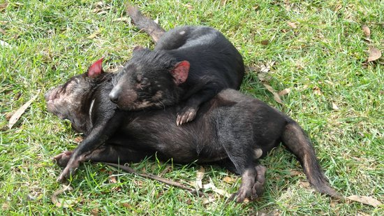 East Coast Natureworld: Sleepy devils - so cute!