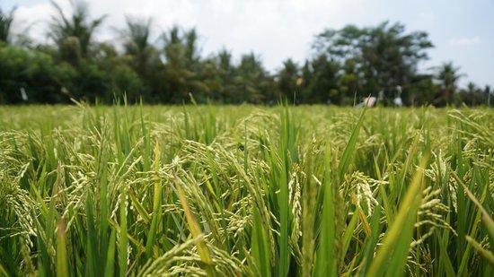 Jean de la Jungle Private Day Tours: les rizières