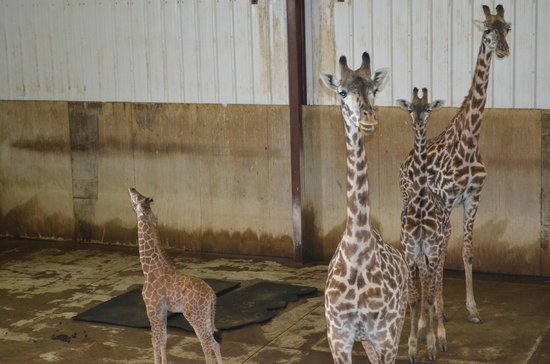 The Lodge at the Wilds: New Baby giraffe 10/17/13
