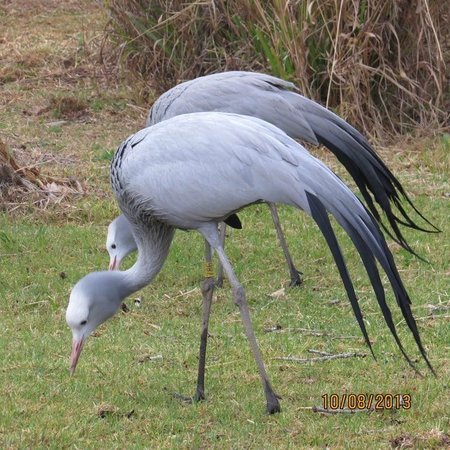 Austin Roberts Bird Sanctuary : Blue Crane