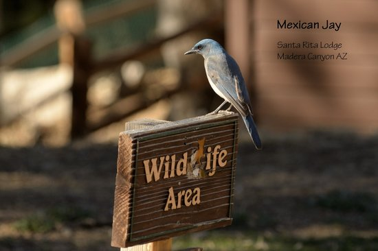 Mexican Jay at the Santa Rita Lodge