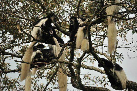 Hatari Lodge: Colobus monkeys