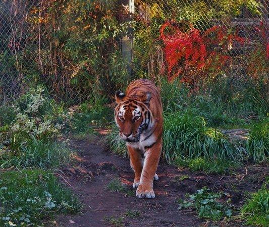 Zoo Boise: Tiger Exhibit