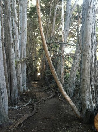 William Randolph Hearst Memorial Beach : trail/path of tall Eucalyptus trees picture perfect