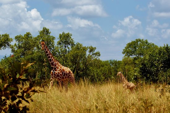 Meru Museum: Retikulert giraff