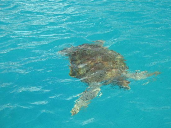 Malibu Watersports Barbados: Snorkel with the Turtles
