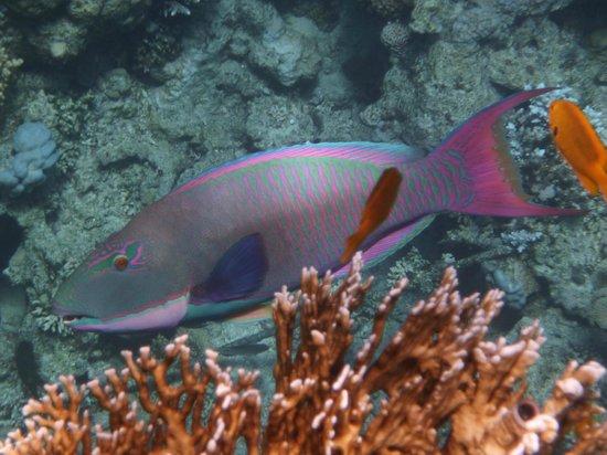Melia Sinai: Рыба -попугай