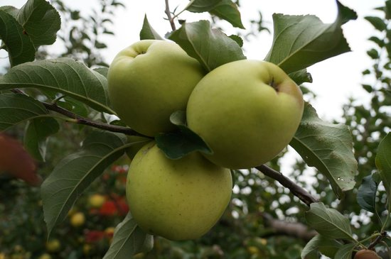 Greig Farm : Green apples ready to be picked