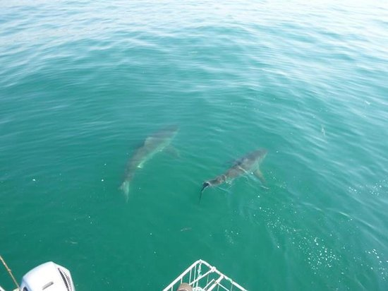White Shark Africa: 2 sharks circled the boat within about 3 minutes of setting down anchor