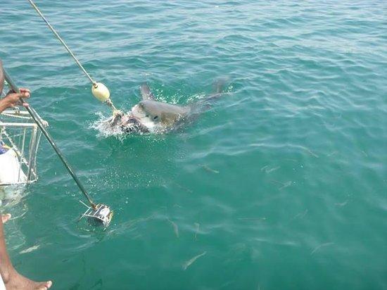 White Shark Africa: We lost a few tuna head that morning